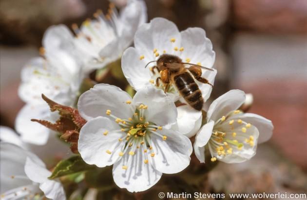 Honingbij met stuifmeel op kers